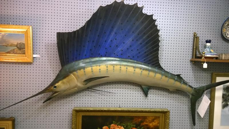 Old Florida Sailfish Mount   Caught off Key Largo, 1953.  No fiberglass.  82 in